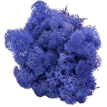 Koningsblauw mos